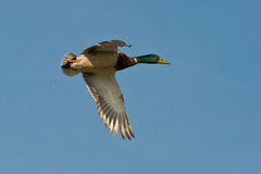 Mallard. Male Mallard flying over the Can Cabanyes nature reserve in northeast Spain Royalty Free Stock Photo