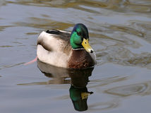 Mallard Royalty Free Stock Photography