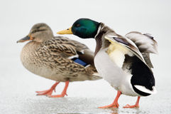 Mallard. Male and female mallard walking on ice Royalty Free Stock Photography