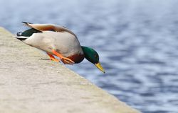 Mallard. Male Mallard jumping into water Royalty Free Stock Photo