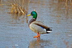 Mallard. Male Mallard standing on ice Royalty Free Stock Images