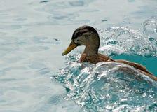 Swimming duck. Duck splashing in the water Stock Photography
