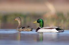 Mallard. Couple male and fimale Mallard in lake Stock Photo