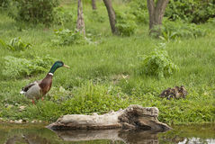Mallard Stock Photography
