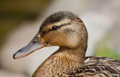 Mallard. Female of mallard portrait on coast Royalty Free Stock Photos