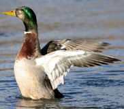 Mallard 3. Mallard duck flapping its wings Royalty Free Stock Images