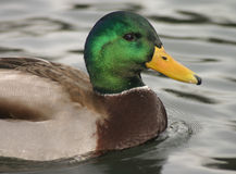 Mallard. A well-known duck, a male Mallard Royalty Free Stock Photo