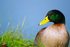 Mallard 4 Royalty Free Stock Images