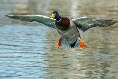 Free Mallard Stock Photography - 46578622