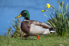 Mallard 4675. A mallard waddling along the shore with flowers vin the background Stock Images