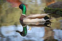 Mallard Royalty Free Stock Photo