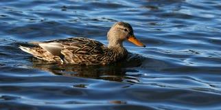 Mallard. At Como Lake Stock Images