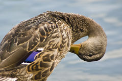 Mallard. Duck captured while grooming it's feathers stock images