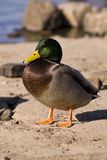Mallard. Male mallard duck on land Royalty Free Stock Photos