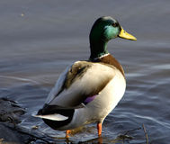 Mallard. With purple speculum in tidal pond, Mill Valley, CA Stock Image