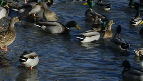 Mallard in acqua video d archivio