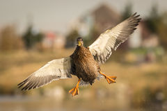 Mallard Aerial Dance Royalty Free Stock Image
