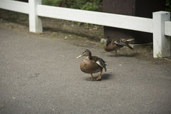 Mallard and American Black Duck Hens. Anas platyrhynchos and Anas rubripes Stock Photography