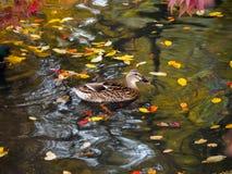 Mallard amongst Autumn Leaves on a Lake Stock Images