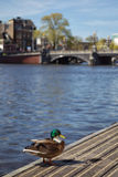 Mallard in Amsterdam. Mallard sitting on a jetty at the Amstel river in Amsterdam, Netherlands in spring Royalty Free Stock Image