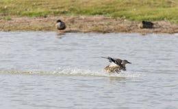 Mallard, ana platyrhynchos. Flying across the lake Stock Image