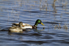 Mallard, Anas platyrhynchos. A mated Mallard pair swims together in a marsh Stock Photos