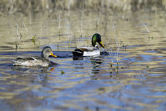 Mallard, Anas platyrhynchos. A mated Mallard pair swims together in a marsh Stock Images