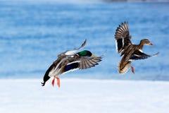 Mallard, Anas platyrhynchos. The Mallard (Anas platyrhynchos) is in a city park. Bird in fly Royalty Free Stock Image