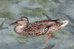 Mallard (Anas platyrhynchos). Swimming on a clear water Stock Photography