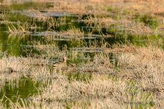 Mallard (Anas platyrhynchos) Stock Image