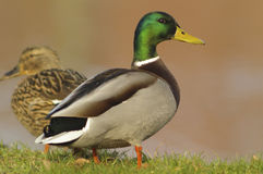 Mallard Anas platyrhynchos adult male and female Stock Photo