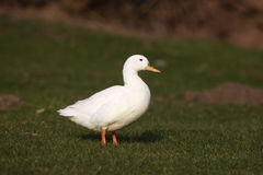 Mallard, Anas platyrhynchos. Albino bird on grass Royalty Free Stock Photos