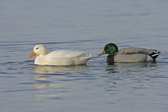 Mallard, Anas platyrhynchos. Albino and male on water, UK Stock Images