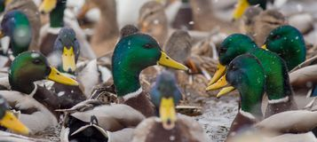 Mallard - Anas platyrhynchos. Big flock of birds on a frozen river in winter Royalty Free Stock Photo