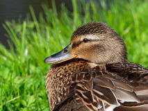 Mallard - Anas platyrhynchos. Close-up of a female Mallard Royalty Free Stock Photography