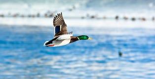 Mallard, Anas platyrhynchos, drake. The Mallard (Anas platyrhynchos) is in a city park. Bird in fly Stock Image