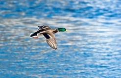Mallard, Anas platyrhynchos, drake. The Mallard (Anas platyrhynchos) is in a city park. Bird in fly Stock Photo