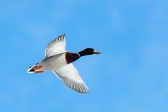 Mallard, Anas platyrhynchos, drake. The Mallard (Anas platyrhynchos) is in a city park. Bird in fly Royalty Free Stock Photo
