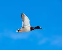 Mallard, Anas platyrhynchos, drake. The Mallard (Anas platyrhynchos) is in a city park. Bird in fly Royalty Free Stock Photography