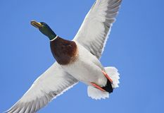 Mallard Anas platyrhynchos drake in flight against a blue winter sky in winter. A Mallard Anas platyrhynchos drake in flight against a blue winter sky in winter Stock Image