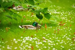 Mallard Anas platyrhynchos, drake resting among the daisies, as background. Mallard Anas platyrhynchos , drake resting among the daisies, as background Royalty Free Stock Photography