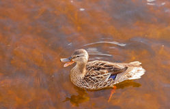 Mallard Anas platyrhynchos duck swims quacking. Mallard, Anas platyrhynchos, swimming in shallow water, high angle close up view with duck quacking bill wide Royalty Free Stock Photos