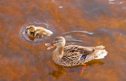 Mallard Anas platyrhynchos duckling duck quacking. Mallard, Anas platyrhynchos, duckling swimming with its mother in shallow water, high angle close up view with Royalty Free Stock Photo