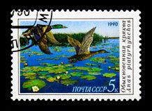 Mallard (Anas platyrhynchos), Ducks serie, circa 1990. MOSCOW, RUSSIA - NOVEMBER 26, 2017: A stamp printed in USSR (Russia) shows Mallard &# Royalty Free Stock Photos