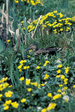Mallard, Anas platyrhynchos. Female amongst marigold, UK Stock Photography