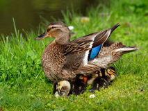 Mallard - Anas platyrhynchos. Female Mallard covering her ducklings Stock Photo