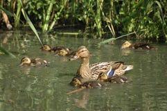 Mallard (Anas platyrhynchos). Mallard female with her chicks in the pond Royalty Free Stock Photo