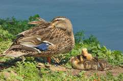 Mallard (Anas platyrhynchos). Mallard female with her chicks in the pond Stock Images