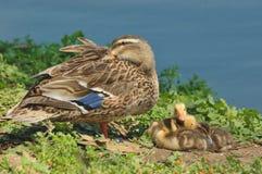 Mallard (Anas platyrhynchos). Mallard female with her chicks in the pond Stock Images