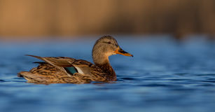 Mallard - Anas platyrhynchos - female. At a small lake in spring Royalty Free Stock Images